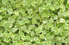 1000 Images About Garden Groundcover Walkable Plants On Pinterest Drought Tolerant Lawn And
