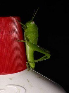 Locusta verde... sul rosso di un tappo.