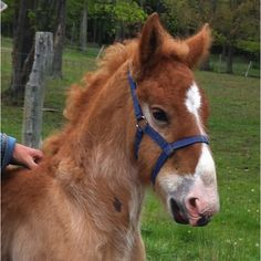 Month Old Diesel - already outgrown his blue baby halter! Grandma better go shopping!