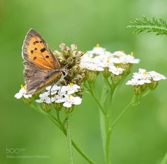 Butterfly by burgele72 #nature #photooftheday #amazing #picoftheday