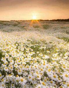 Trendy Ideas For Flowers Photography Daisy Margaritas Nature Aesthetic, Flower Aesthetic, Flower Feild, Sunrise Images, Daisy Field, Field Of Daisies, Best Sunset, Felder, Amazing Flowers