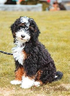 Miniature, Micro Mini, and Australian Bernedoodle Puppies for Sale - Alpine Bernedoodles What is your dream Dog? Looking for my next family member Cute Dogs And Puppies, Puppies For Sale, Doggies, Mini Dogs, Bernadoodle Puppy, Australian Labradoodle Puppies, Baby Animals, Cute Animals, Animals