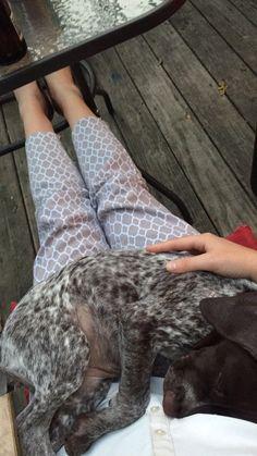 Lucy GSP Puppy