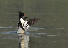 Credit: Shen Junfeng/Xinhua/Corbis A Chinese merganser swims in a lake in Xiushui county, east China's Jiangxi province. About 70 Chinese me...