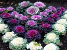 Ornamental Cabbage (Brassica Oleracea) - Start Ornamental Cabbage seeds to create a colorful bed that is cold tolerant and easy-to-maintain. Ornamental Cabbage uses include edging the flower border or Cabbage Plant, Cabbage Flowers, Cabbage Seeds, Winter Plants, Winter Flowers, Flowering Kale, Chou Kale, Meadows Farms, Ornamental Cabbage