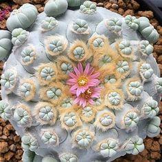 I think Ariocarpus lv. La Popa, Nuevo Leon. Hybrid but originally from Mexico. (Cactus)