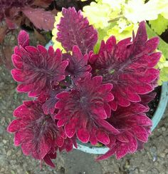 Houseplants for Better Sleep Gnash Rambler Coleus Plant. Water When Leaves Start To Droop A Little To Prevent Over Watering. More Care Tips: Unusual Plants, Rare Plants, Cool Plants, Beautiful Flowers Garden, Rare Flowers, Patio Plants, House Plants, Cactus For Sale, Garden Soil