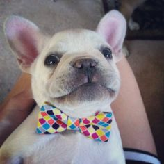 Franklin the French Bulldog // Bow Tie