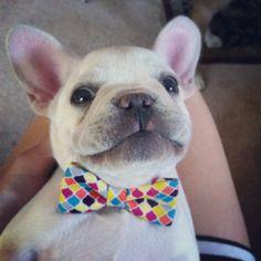 Franklin the French Bulldog // Bow Tie