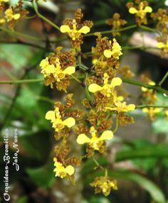 Oncidium cilliatum: umas flores 2013
