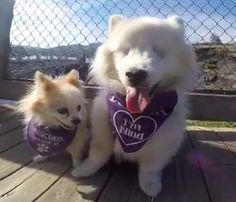 "This is Hoshi, the American Eskimo dog, and his best tiny Pomeranian friend, Zen. Hoshi was lucky to find a new pal after a surgery for glaucoma left him blind. It was certainly a rough patch for him, but the dogs soon became fast friends. Pauline Perez, the pair's mom, was ""in love"" from the m..."