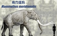 Mammuthus meridionalis by sinammonite on DeviantArt
