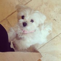 My Daisy Maltese Puppy Maltese Dogs Maltese Puppy Cute Puppies
