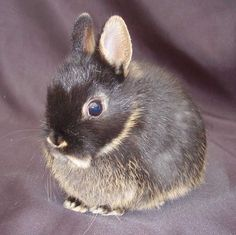 About the Netherland Dwarf - he will be mine.