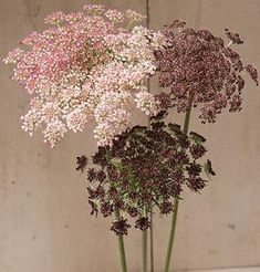 This flower is called Dara. Flowers in shades of dark purple, pink, or white. Highly productive with stems per plant. Long lasting in bouquets. Also known as Queen Anne's lace, ornamental carrot, and wild carrot. Shade Flowers, All Flowers, Beautiful Flowers, Wedding Flowers, Carrot Flowers, Cut Flower Garden, Flower Farm, Queen Anne Lace, Garden Seeds