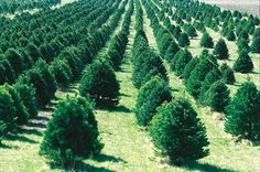 Christmas Trees: Real or Artificial? Which is better for the environment?