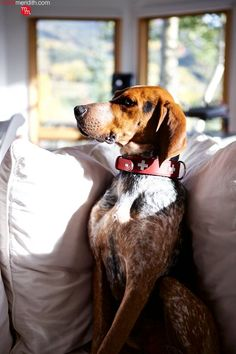 Meet Bo Meridith, our new hound dog! He loves living in Telluride, CO with his brother Moose! MarlaMeridith.com ( @marlameridith ) Hunt Club, Hound Dog, Moose, Brother, Meet, Fur, Animals, Animales, Plott Hound