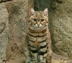 Black-footed Cat - Bing images