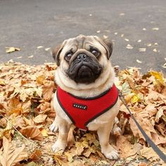 """A """"beautiful"""" pug you say? What other kind of pug is there? #petmagicmoments"""