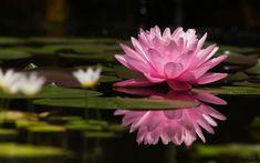 fiore di loto BLU - Cerca con Google