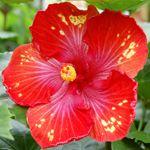 Exotic Hibiscus 'Picante'