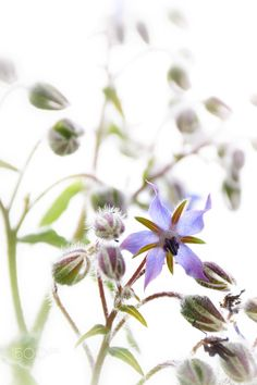 The flower of borage - Close-up of the borragine star flower, with its tiny blues colors.