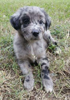 Tiny Puppies, Cute Puppies, Golden Retriever Cross, Baby Golden Retrievers, Bffs, Baby Animals, Cute Animals, Rambo, Retriever Puppy