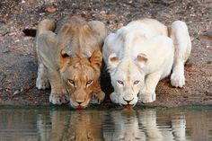 Love is love. Lionesses drink together at the Motswari Private Game Reserve in South Africa. On the right is a rare white lion from the Xakubasa Pride. The photograph was taken by the park's ranger Chad Cocking, who keeps an amazing blog that you can check out here >> http://motswariblog.blogspot.co.uk/