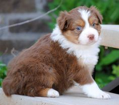 I have an Australian Sheperd, I'm totally in love with them!