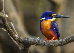 Azure Kingfisher. Image courtesy of Andre Erlich