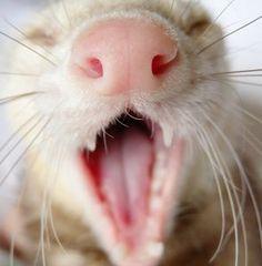 http://www.zoomalia.com/blog/article/prendre-soin-furet.html #furet #soin #dents #hygiène