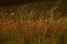 Brasil. O capim dourado é uma espécie de sempre-viva da família Eriocaulaceae (Syngonanthus nitens Ruhland). Ocorre na região do Jalapão e Tocantíns, localizado no estado do Tocantins, com a palha do qual se faz artesanatos, tais como: pulseiras, brincos, chaveiros, bolsas, cintos, vasos, peças de decoração entre outros.Brazil. The golden grass is a species of evergreen Eriocaulaceae the family (Syngonanthus nitens Ruhland). Occurs in the Jalapão and Tocantins.