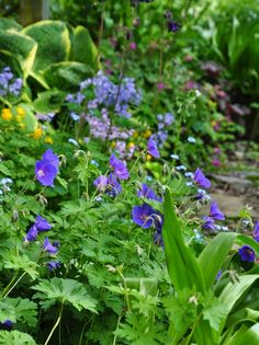 Three Dogs in a Garden: Jacquie's Garden Part 1: Cranesbill Geranium 'Rozanne'