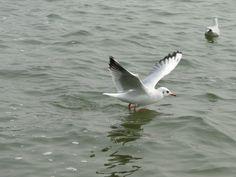 Its a Sea Gull Siberian bird
