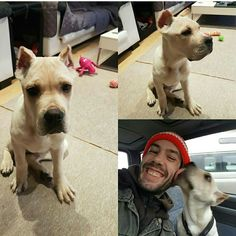 Our special boy,straw color Cane Corso in his new home in UK,with new best friend Gareth. Cane Corso Kennel, Cane Corso Breeders, Cane Corso Dog, Cane Corso Puppies, Puppy Kennel, Rare Dogs, Best Dogs, Pitbulls, Inspiration