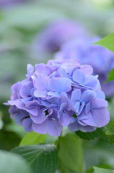 all in Bokeh Purple Flowers Wallpaper, Beautiful Flowers Wallpapers, Lavender Blue, Lavender Flowers, Amazing Flowers, Pretty Flowers, Dubai Miracle Garden, Peonies And Hydrangeas, Colorful Plants