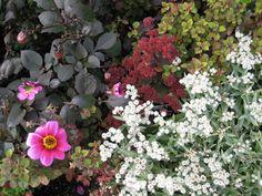 11. Sedum 'Red Cauli' Herbaceous Border, Burgundy Color, Hyde, Color Themes, Display, Plants, Decor, Floor Space, Decoration