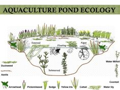 Pond ecology- Aquaculture Food web