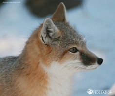 Swift Fox - Photo from Canadian Wildlife Federation Facebook Page ( 16.08.17)