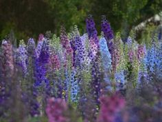Butterfly mixed colors Delphinium  Up to 5'