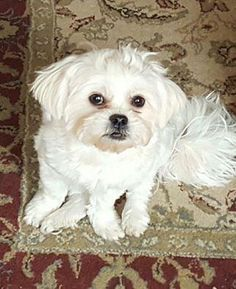 Cassie is an adoptable Pekingese searching for a forever family near Channahon, IL. Use Petfinder to find adoptable pets in your area.