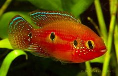 Hemichromis Cristatus. Tropical fresh water. Bred this Species.