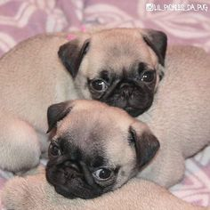 To get through to the weekend! Photo of baby @lil_pickles_da_pug and @peekaboothepug  Want to be featured on our Instagram? Tag your photos with #thepugdiary for your chance to be featured.