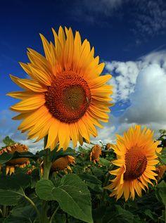 Sunflower Sky - Kansas Plains
