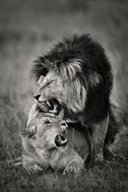 """Résultat de recherche d'images pour """"couple of white lions"""""""