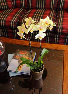 Yellow Orchid ...and a sweet plaid couch!