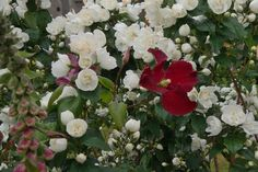 Clematis und Kletterrose - Rosenparadies Loccum