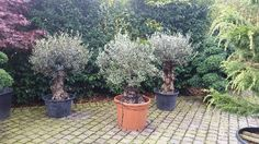 20 year old Bonsai-style Olive Trees