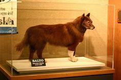 Si on nous avais dit que le Husky de Sibérien était apparu dans une tribu il y a plus de 3000 ans, on ne l'aurait pas cru. Et pourtant, le husky est effectivement né en Sibérie au sein des Tchouktchis, une tribu dont le mode de vie a donné à un chien endurant, incroyablement résistant et affectueux !