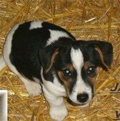 Miniature Jack Russell Terrier   Mini Jack Russell Terrier suchen ein Zuhause (Bennewitz)   markt.de ...